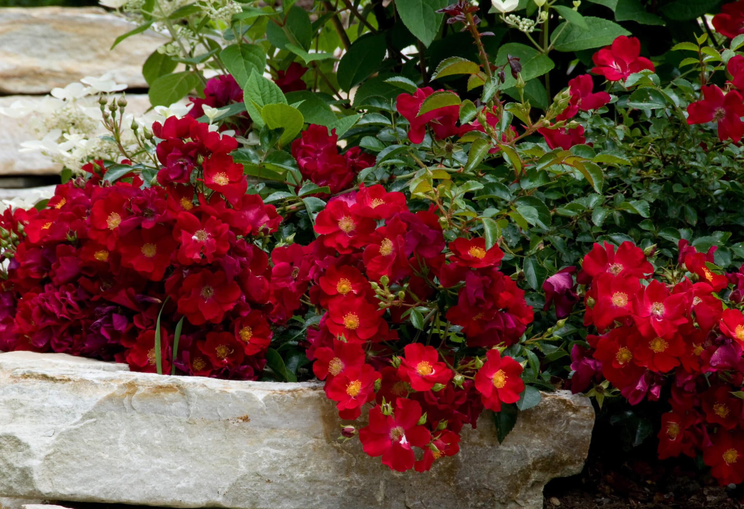 Карликовые и почвопокровные розы