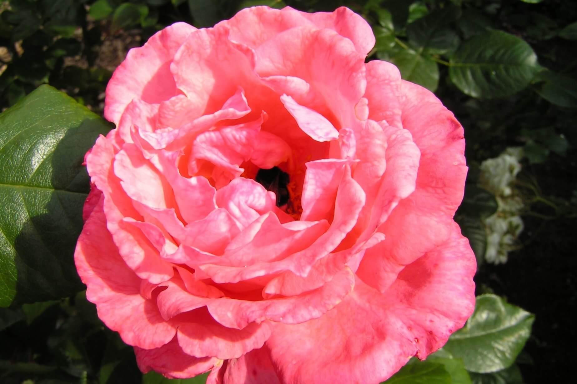 Ramira — двухцветный клаймбер, крупный плетистый кустарник с россыпью ярко-розовых бутонов