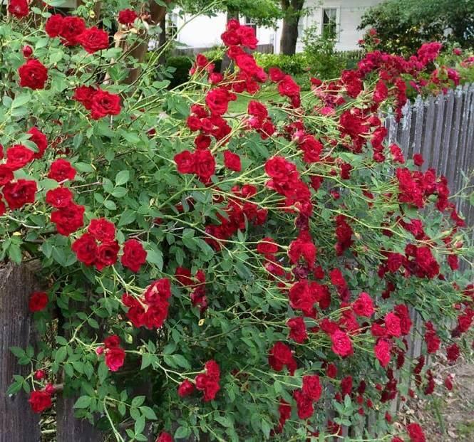 Рэд Каскад - плетистая прекрасная роза