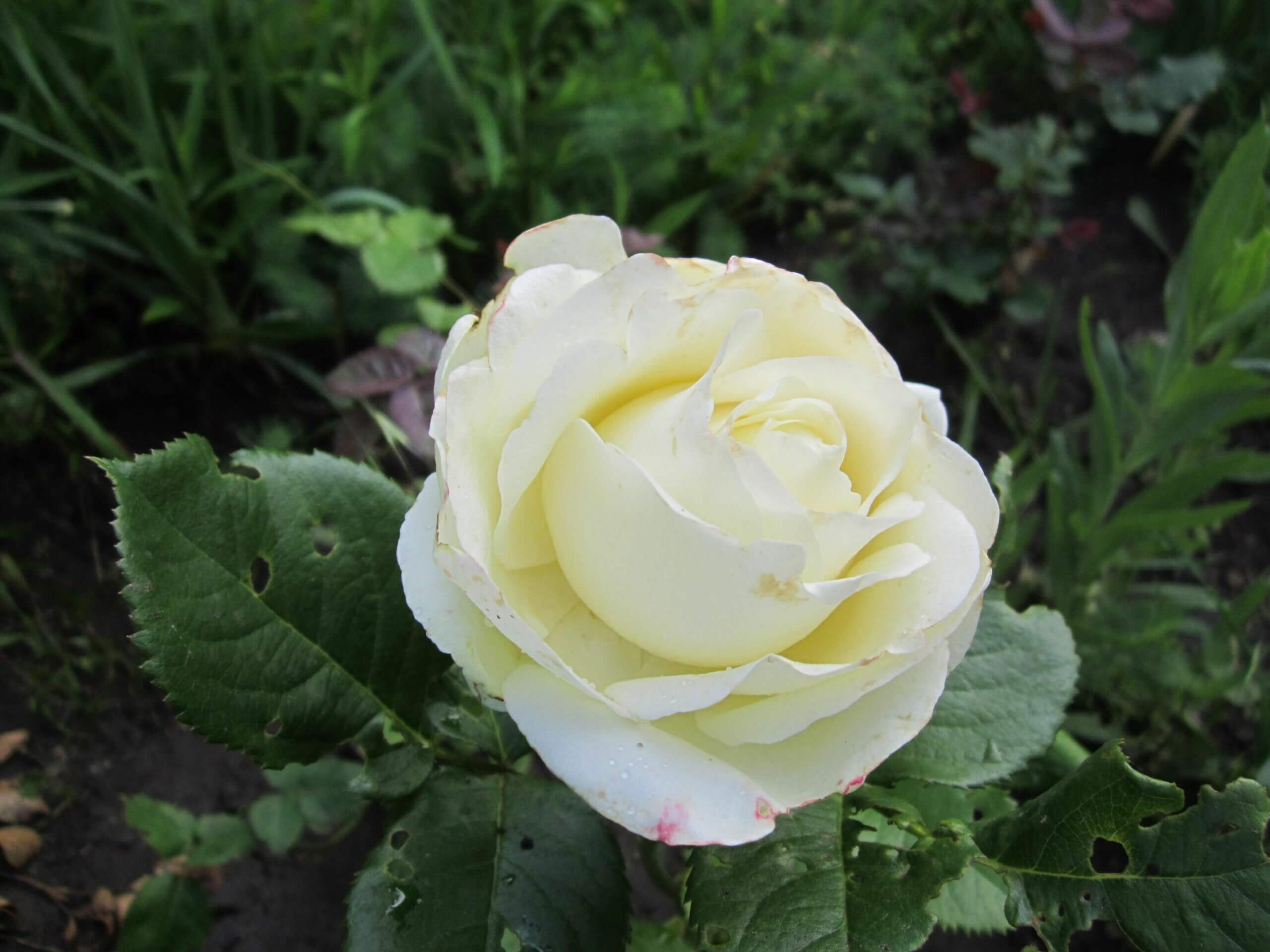 Polarstern — чайно-гибридная роза кремового цвета от селекционеров компании Tantau