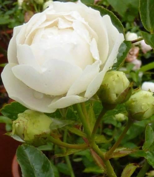 Как вырастить миниатюрную розу дома