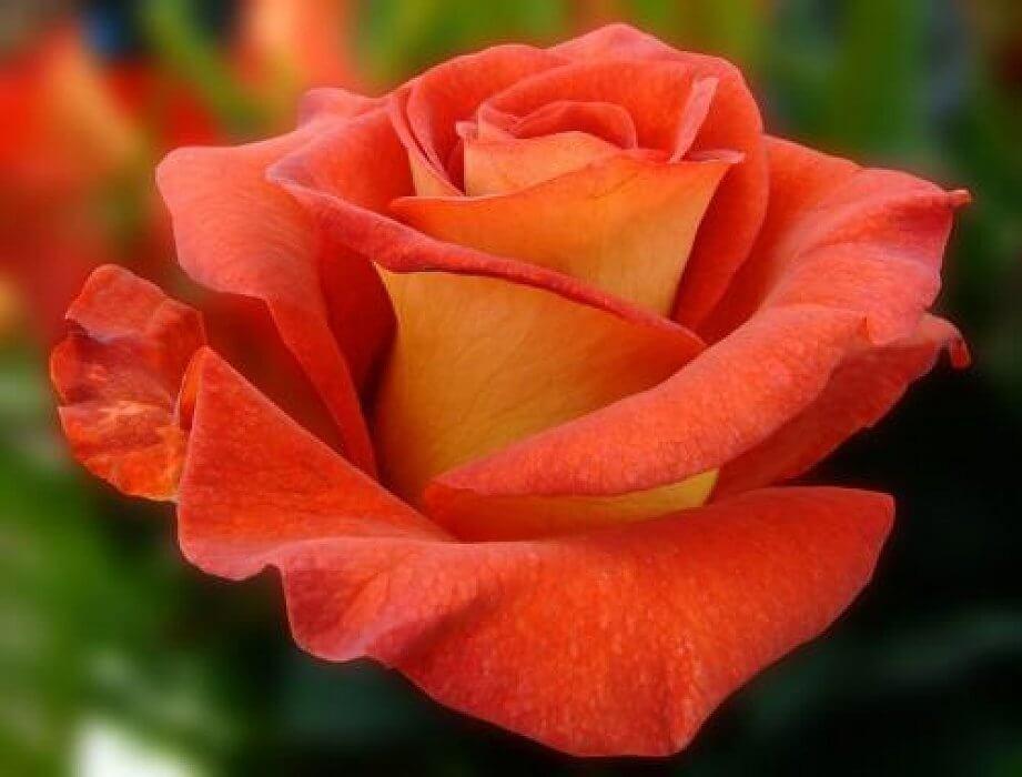 Наранга роза