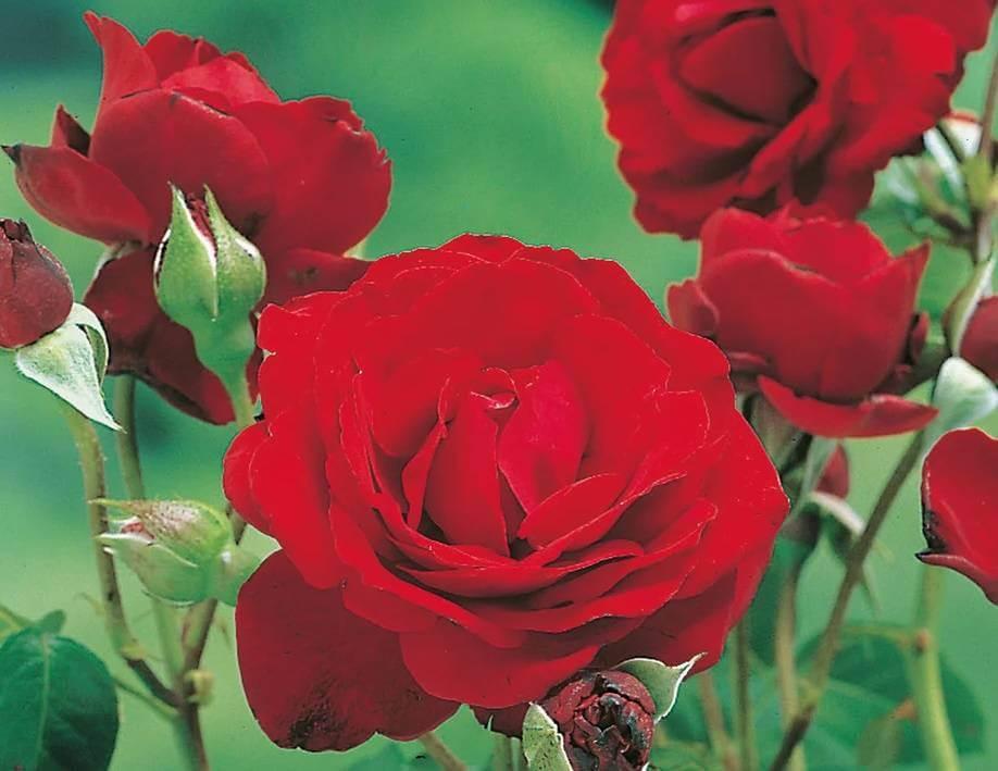 Red Parfum - прекрасный сорт плетистой розы