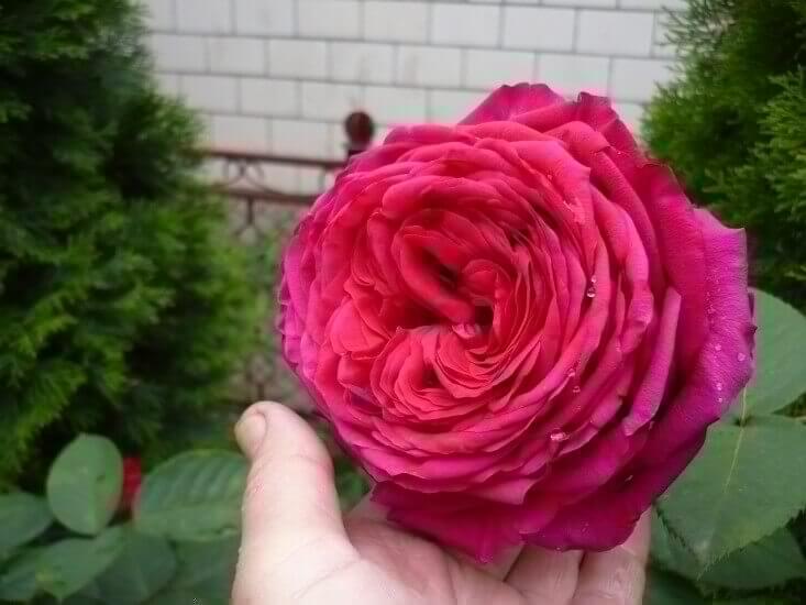Алан Сушон - как вырастить прекрасную розу