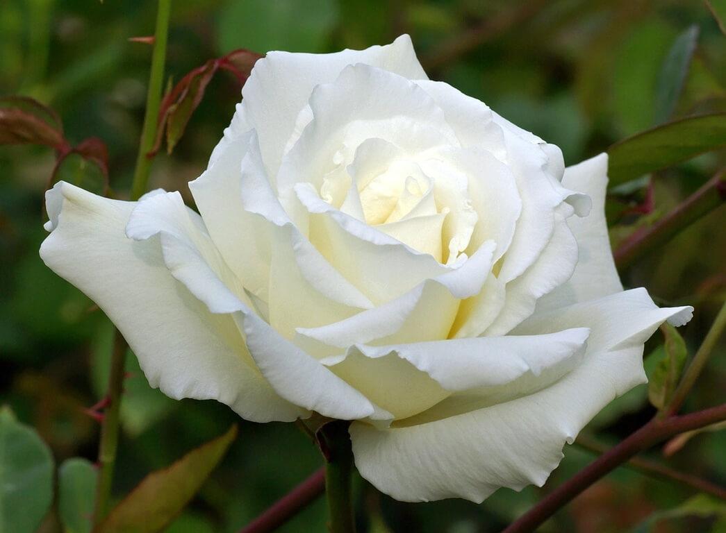 White Bear — чайно-гибридный сорт с крупными цветами и насыщенным ароматом