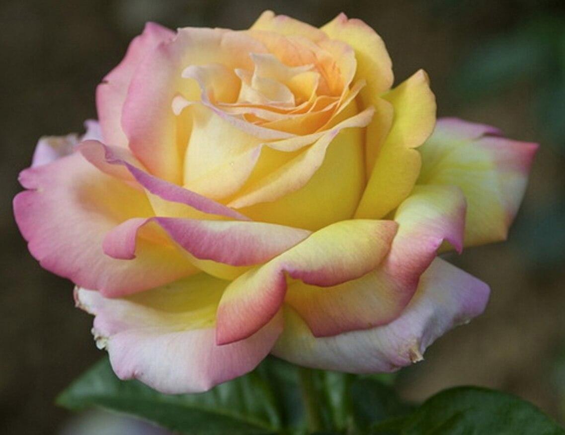 Холодостойкие розы