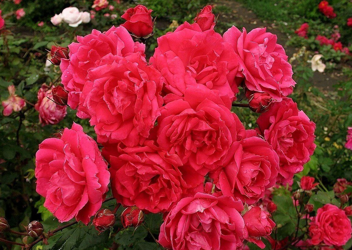 Любимые кустовые розы