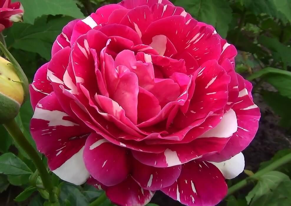 Pestraja Fantazija — советская чайно-гибридная роза от Никитского ботанического сада