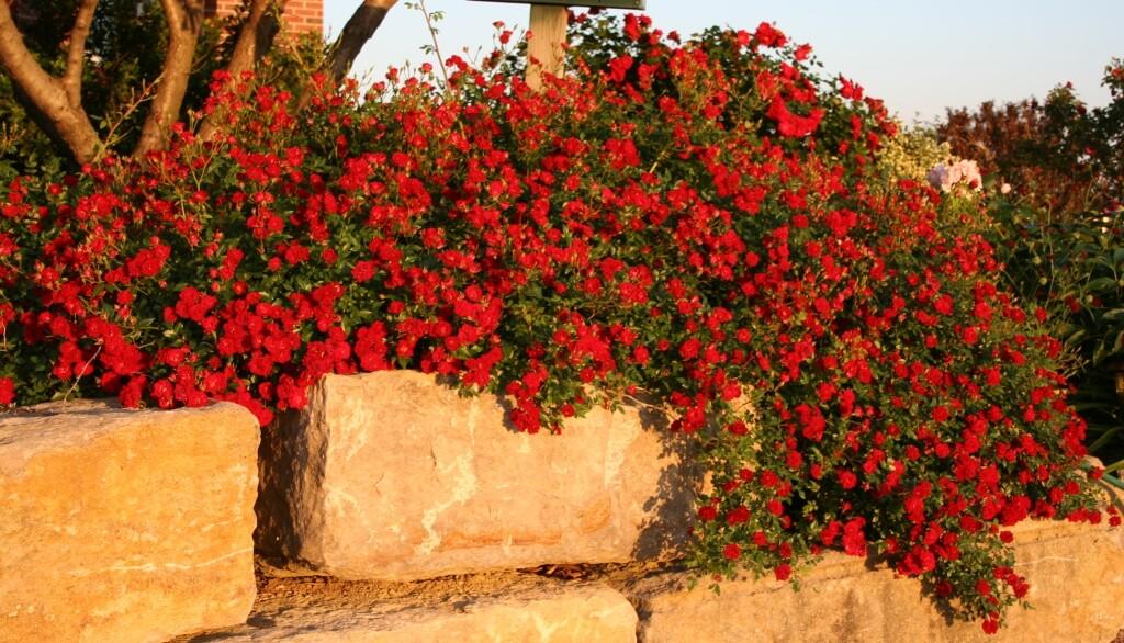 Red Cascade - почвопокровная роза из США