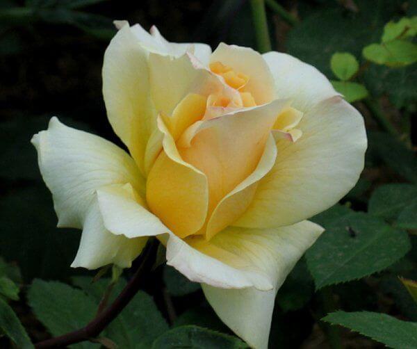 Роза сорта Элина