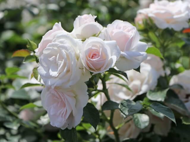 Aspirine Rose - почвопокровная роза патио нежного белого цвета с розовым центром