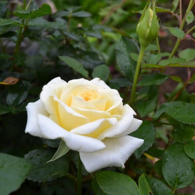 Creme de la Creme - изысканная срезочная чайно-гибридная роза нежного бело-кремового цвета от Tantau