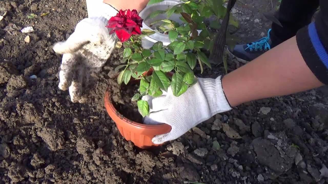 Как правильно пересаживать розы?