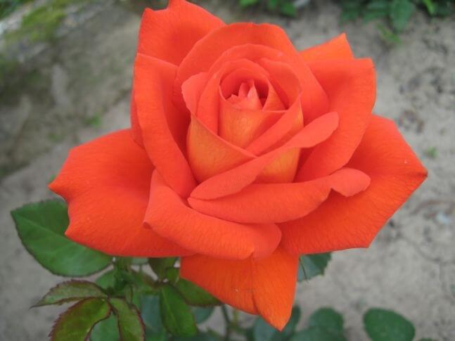 Naranga - чайно-гибридная роза от селекционеров Tantau