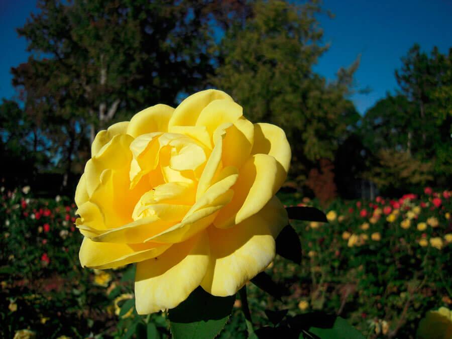 Прекрасная леди вашего сада