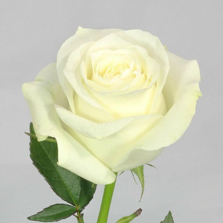 Proud - срезочная белоснежная роза из Нидерлдандов