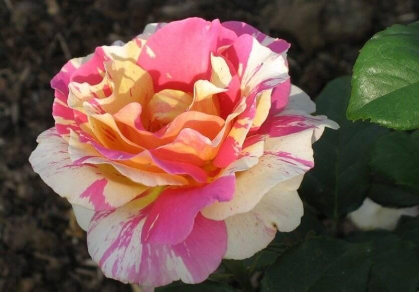 Claude Mone — разноцветная флорибунда серии Painter Roses Дельбара
