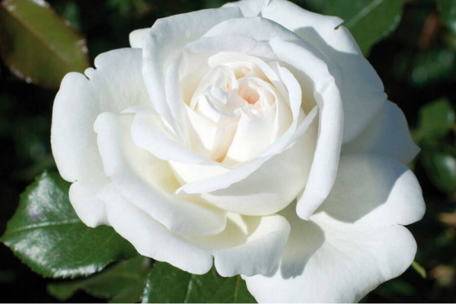 Белый медведь роза