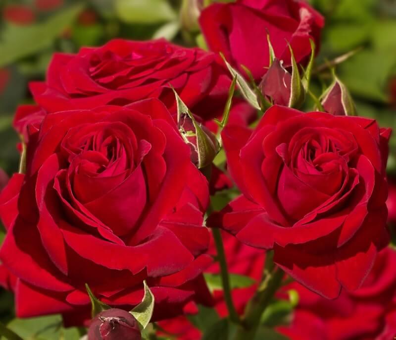 Прекрасная мадам - роза Софи Лорен