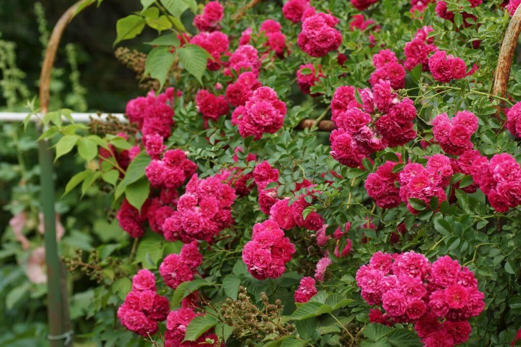 Dorothy Perkins - плетистая роза из США
