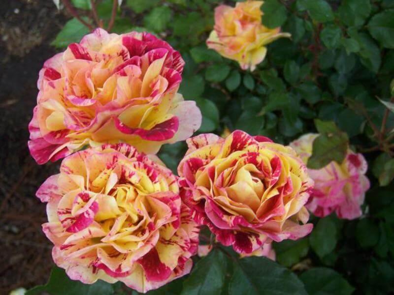 Как я ухаживаю за розами в моем саду