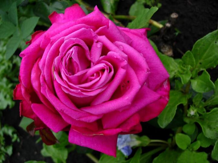 Duftrausch - чайно-гибридный сорт роз от немецкой компании Tantau