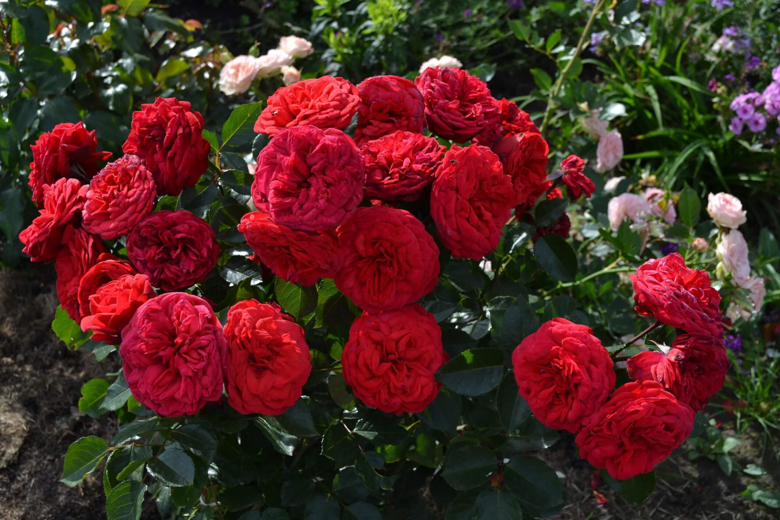 Piano - чайно-гибридная пионовидная роза насыщенного красного цвета от Tantau