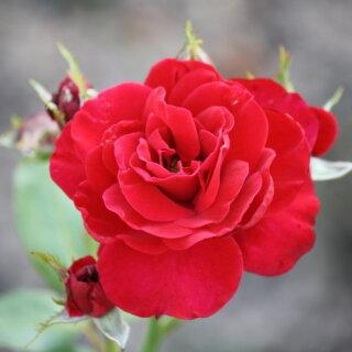 Nina Weibull – темно-красная флорибунда от Poulsen, Дания