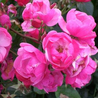 Angela –  флорибунда с невероятным обилием розово-карминовых роз от Kordes