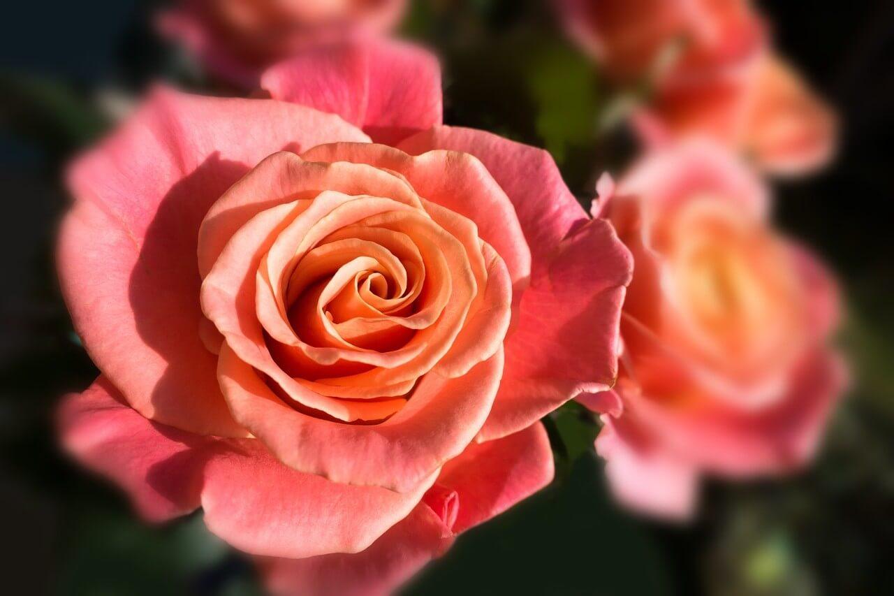 Miss Pigg - очаровательная срезочная чайно-гибридная роза нового поколения от Lex+