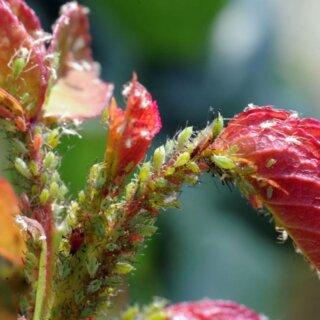 Зелёная розанная тля - меры борьбы и лечение