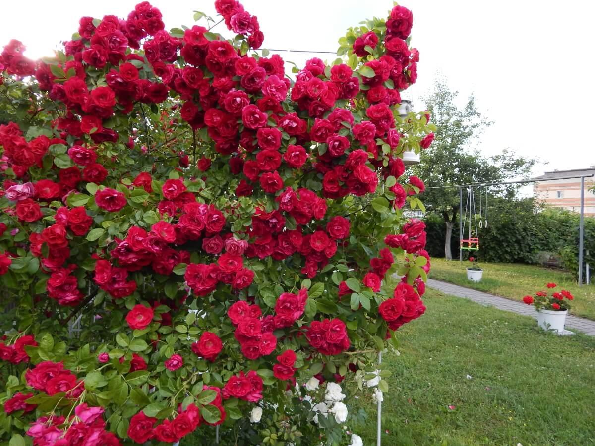Flammentanz - яркая плетистая роза от Kordes