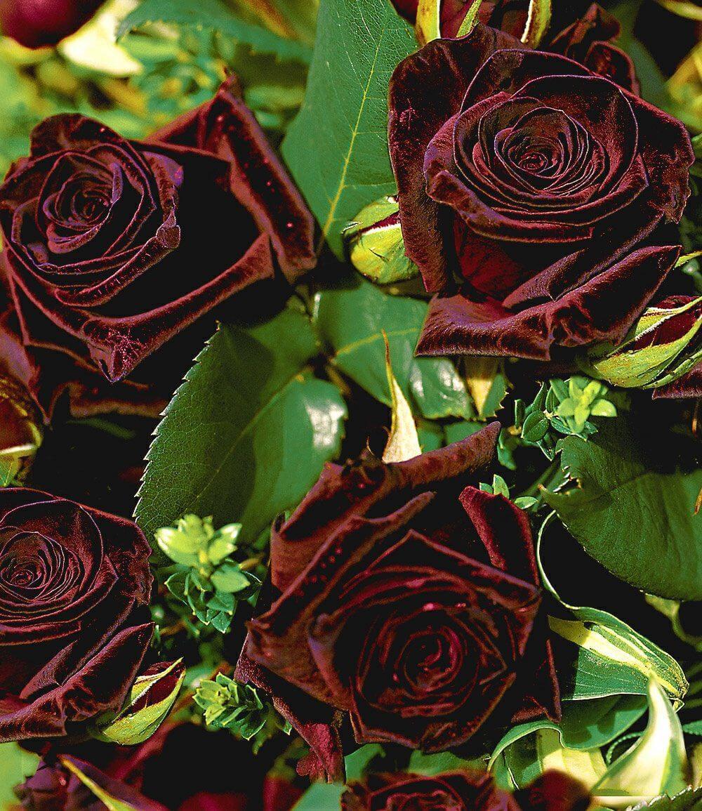 Black Baccara - чувственная роза насыщенного бордового цвета с чёрной примесью от Meilland