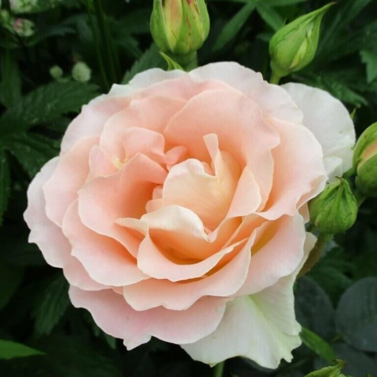 Rokoko - кустарник-шраб с абрикосовыми розами от Tantau