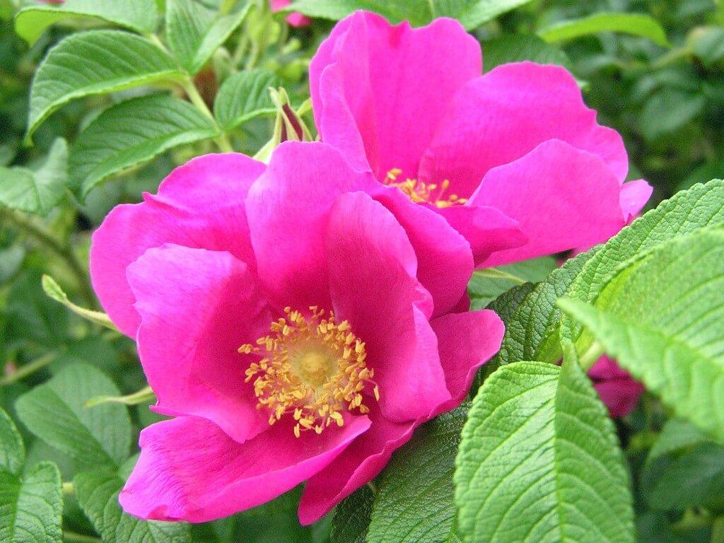 """Rugosa Rubra - садовое растение шиповник. Роза, известная под названием """"морщинистая"""""""