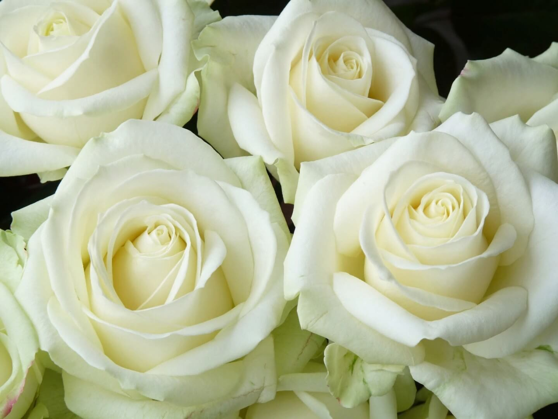 Avalanche - чайно-гибридный сорт с романтичными белыми розами из Нидерландов