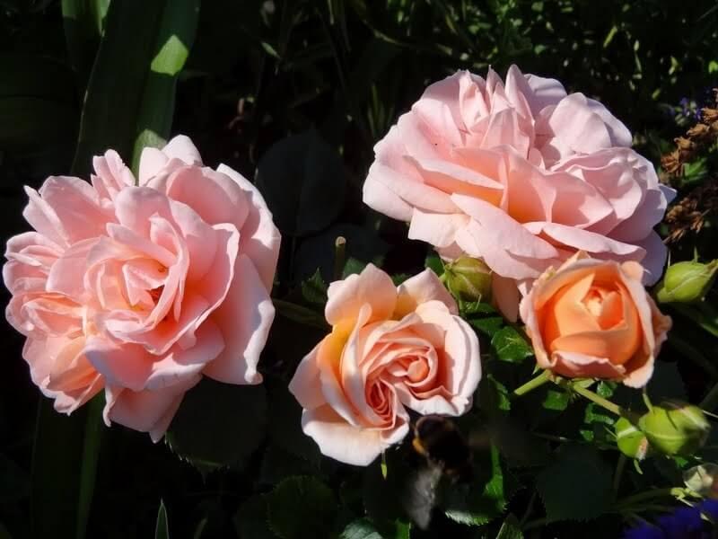Geisha - пышная флорибунда нежного абрикосового цвета от Tantau