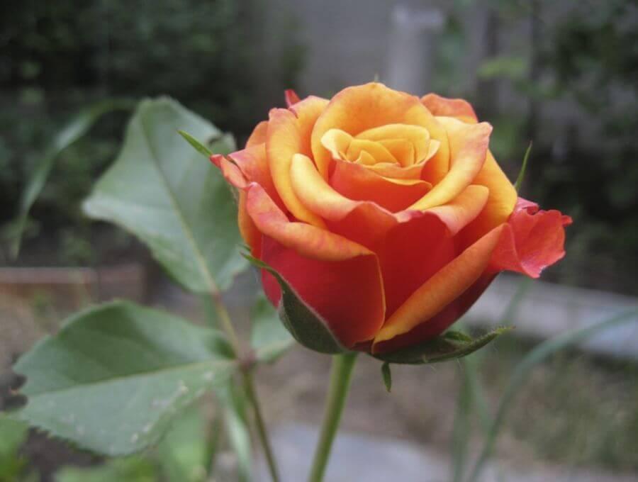 Cherry Brandy - чайно-гибридная роза биколор от немецкой компании Tantau