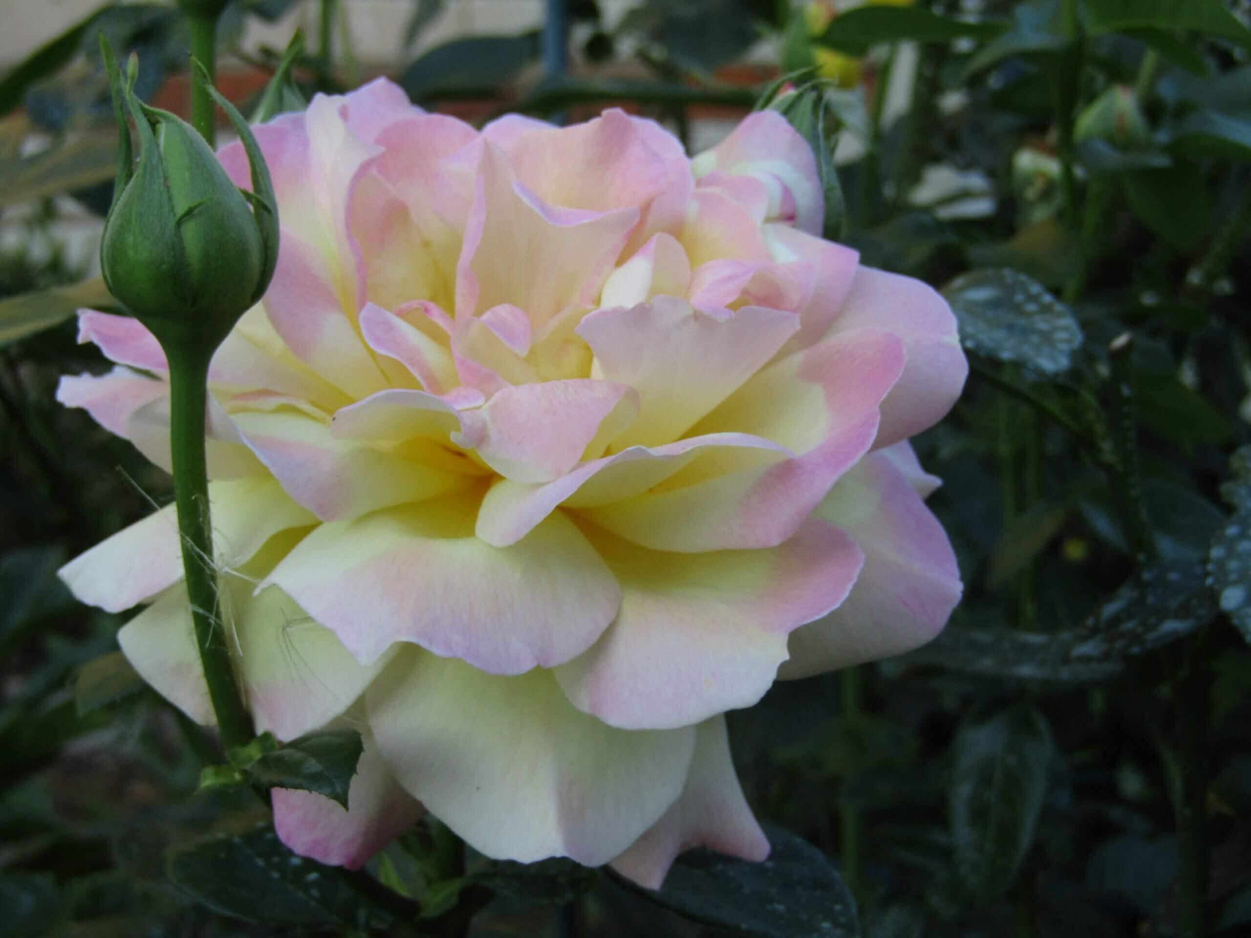 Gloria Dei - знаменитая ярко-желтая чайно-гибридная роза от французской компании Meilland