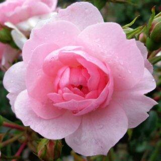 Bonica – раскидистый кустарник с нежно-розовыми бутонами от Meilland