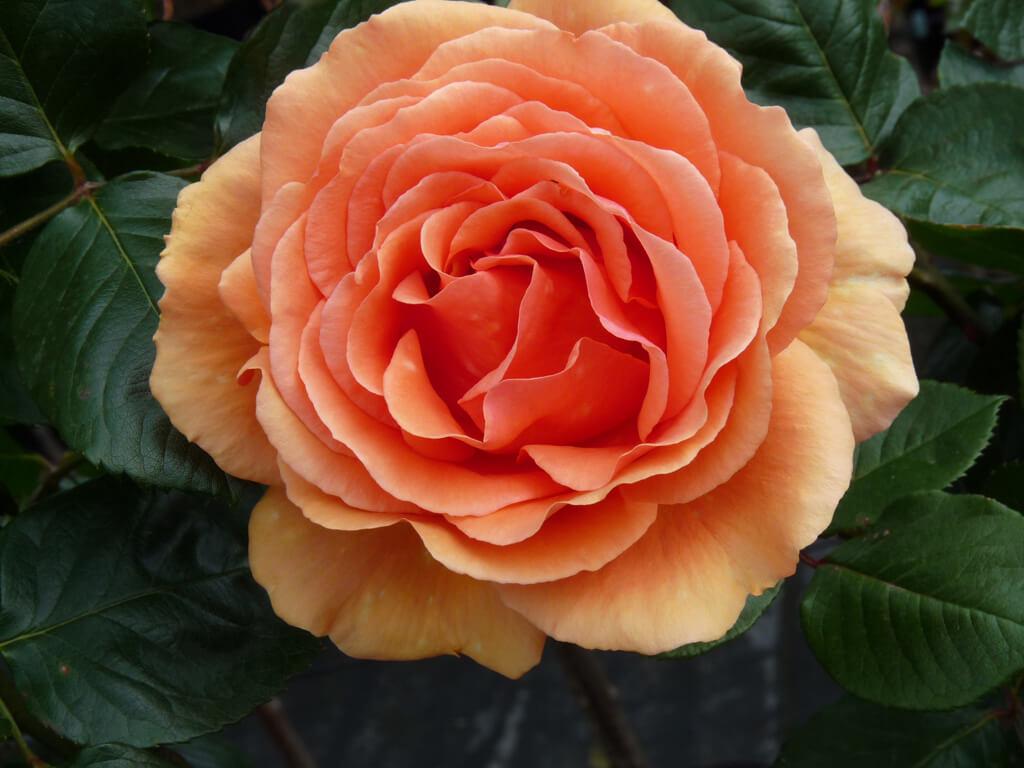 Ashram - чайно-гибридная роза с эффектной окраской лепестков от Tantau