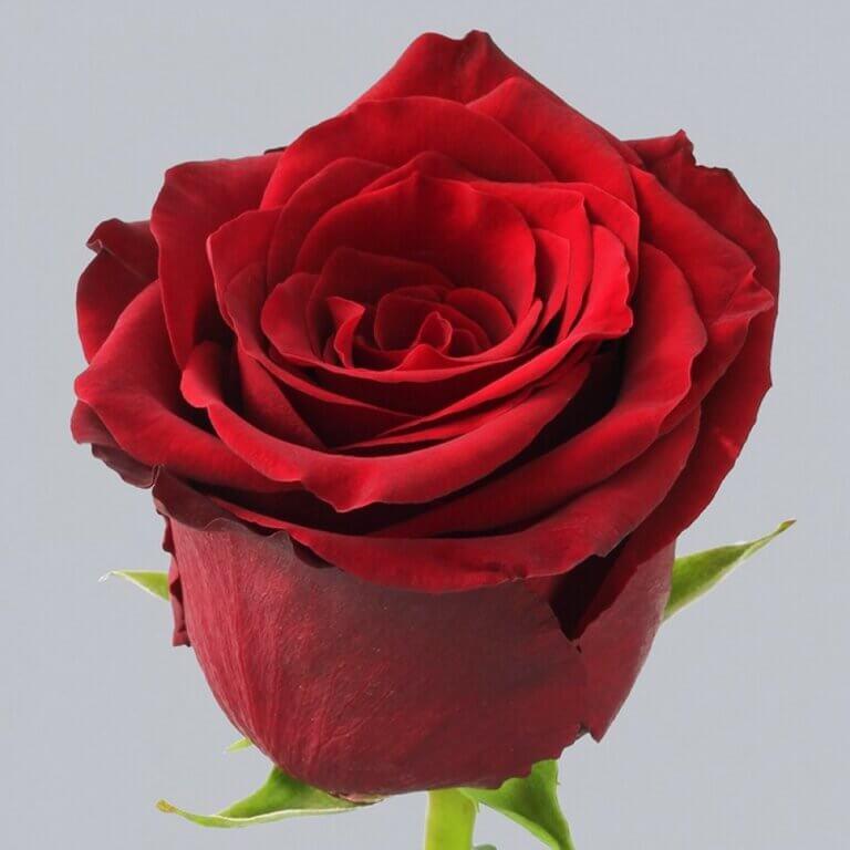 Explorer - красная чайно-гибридная роза классической формы из Нидерландов