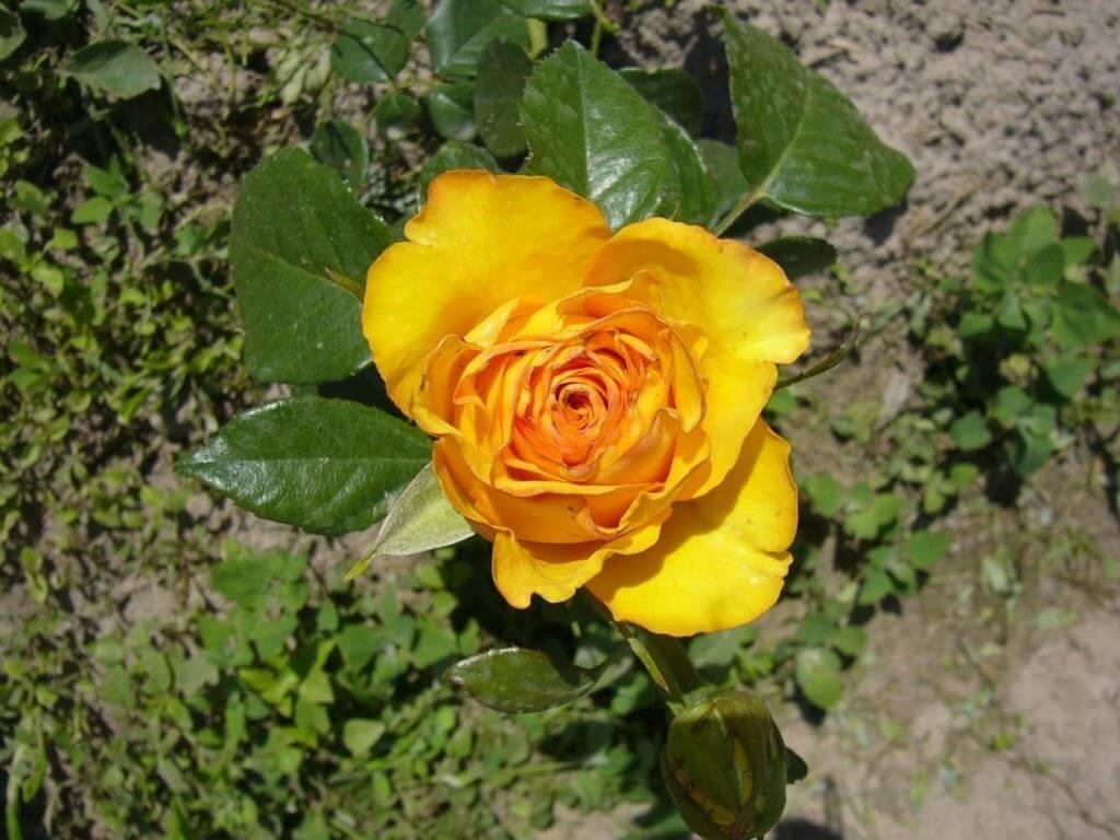 Kerio - солнечная чайно-гибридная голландская роза