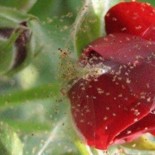 Паутинный клещ на розах, меры борьбы и лечение