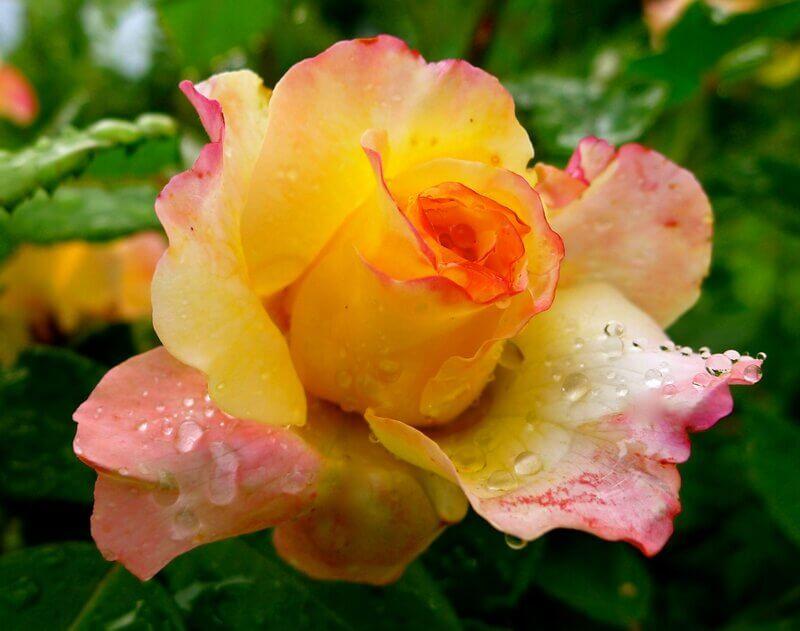Aquarell - чайно-гибридная роза биколор от Tantau