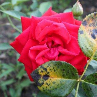 Чёрная пятнистость на розах, меры борьбы и лечение