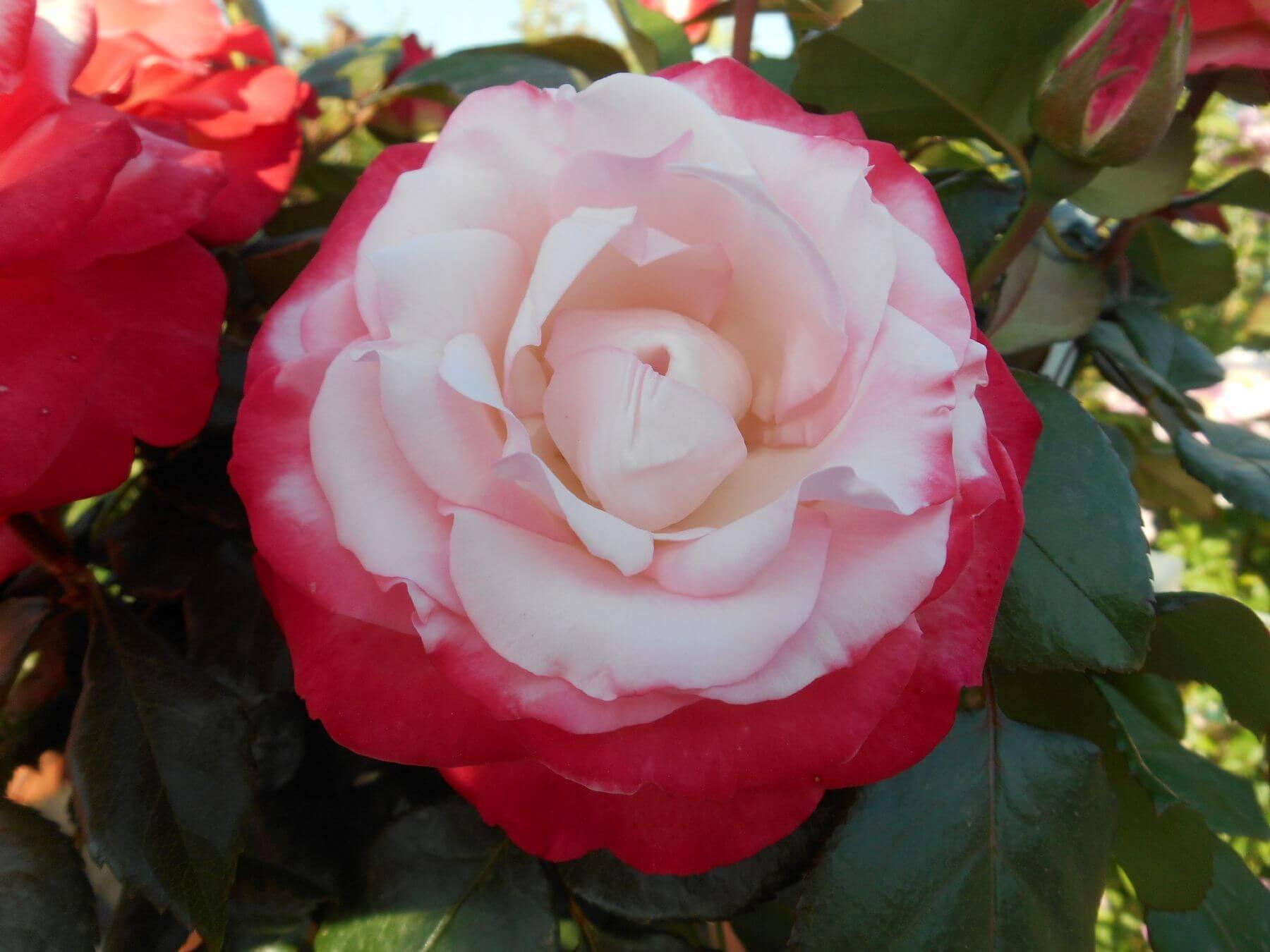 Nostalgie - нестандартная чайно-гибридная роза с контрастной расцветкой из Германии