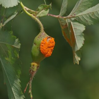 Ржавчина на розах, меры борьбы и лечение