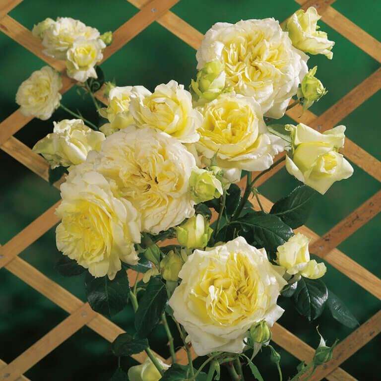 Elfe - белая плетистая роза с зелёным отливом от Hans Jürgen Evers