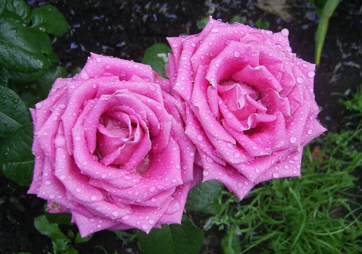 Aqua - чайно-гибридная срезочная роза из Нидерландов